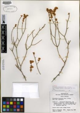 Image of Eriogonum heermannii