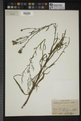 Almutaster pauciflorus image