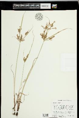 Image of Cyperus microiria
