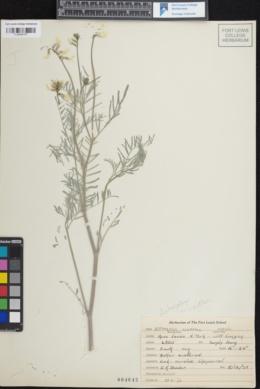 Image of Astragalus schmollae