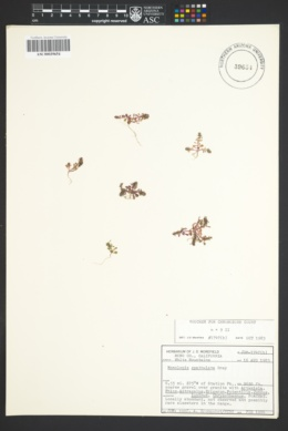 Image of Blitum spathulatum