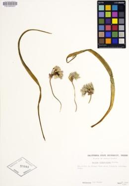 Image of Allium yosemitense
