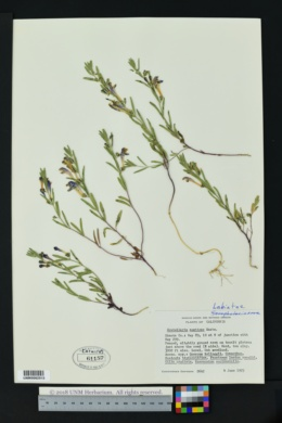 Image of Scutellaria austinae