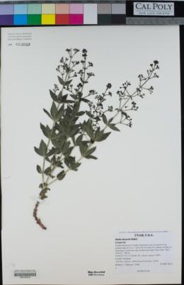 Rubia tinctorum image