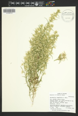 Brickellia longifolia image