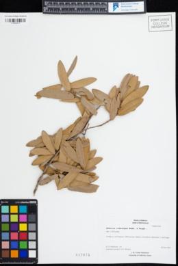 Image of Quercus crassipes