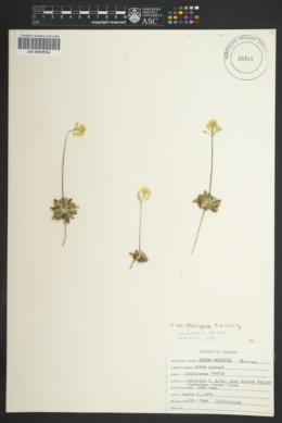 Draba asprella var. stelligera image
