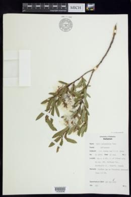 Image of Salix x pedunculata