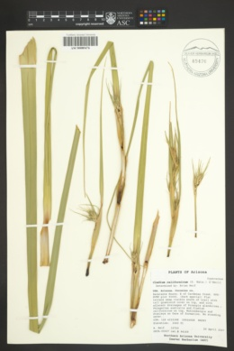 Cladium californicum image