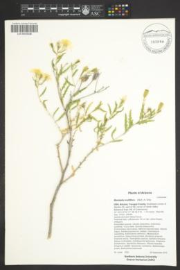 Mentzelia multiflora image