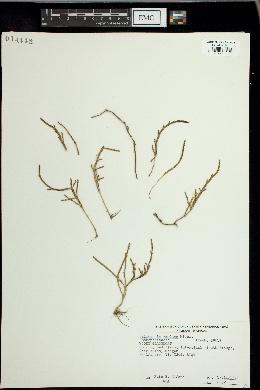 Image of Salicornia ambigua