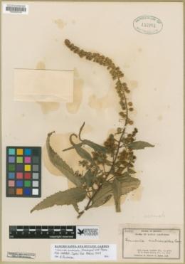 Ambrosia acuminata image