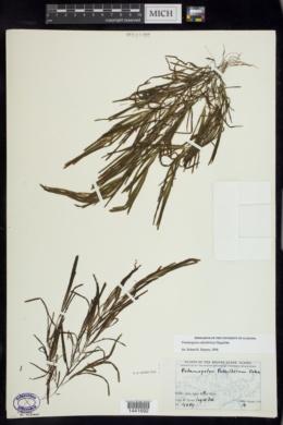 Image of Potamogeton subsibiricus