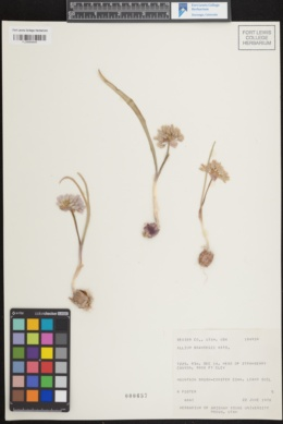 Image of Allium brandegeei
