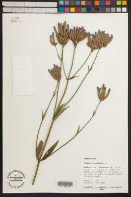 Verbena bonariensis image
