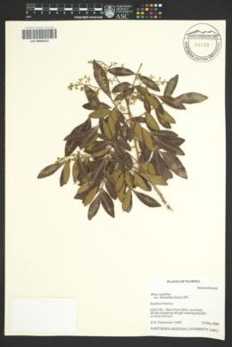 Image of Rhus leucantha