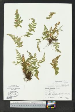 Woodsia plummerae image