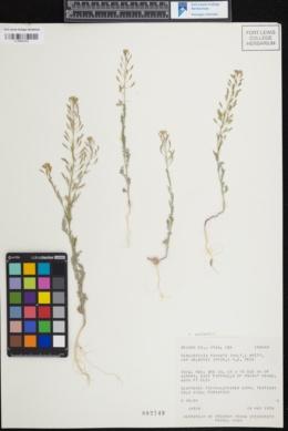 Image of Descurainia nelsonii