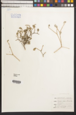 Bernardia incana image