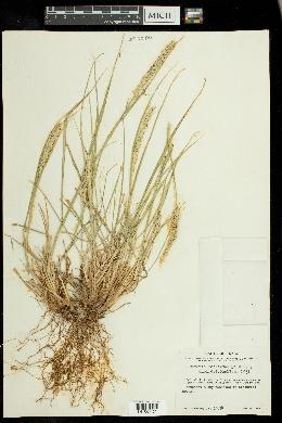 Setaria macrostachya image