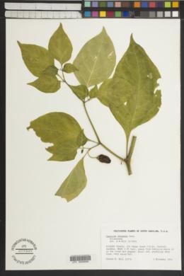 Image of Capsicum chinense