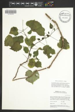 Salvia acerifolia image
