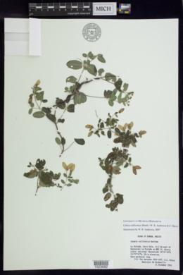 Cottsia californica image