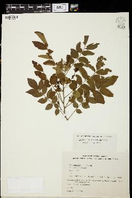 Image of Lonchocarpus parviflorus