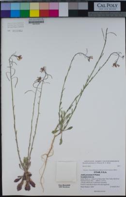 Image of Boechera perennans