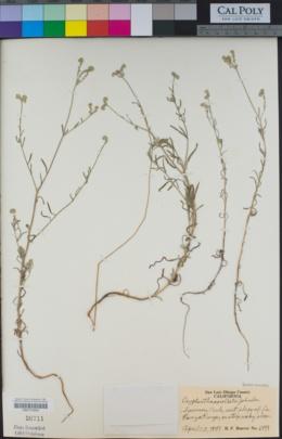 Cryptantha corollata image