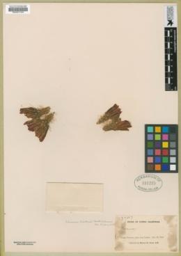 Echinocereus brandegeei image