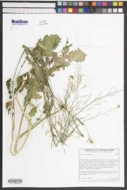 Image of Brassica fruticulosa