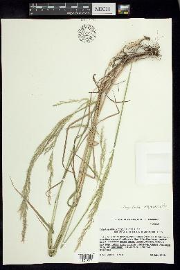 Peyritschia deyeuxioides image