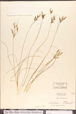 Juncus secundus image