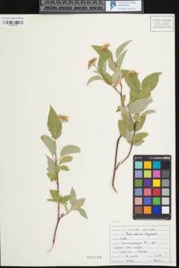 Cornus sericea var. sericea image