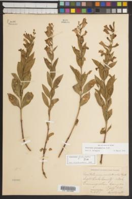 Penstemon platyphyllus image