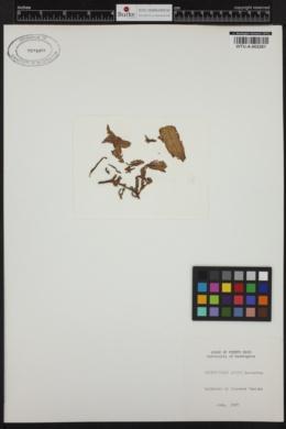 Dictyopteris justii image