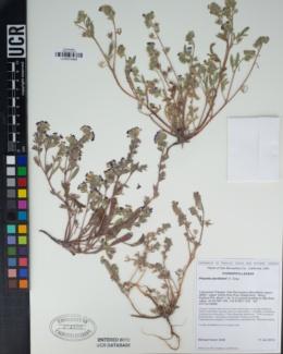 Phacelia davidsonii image