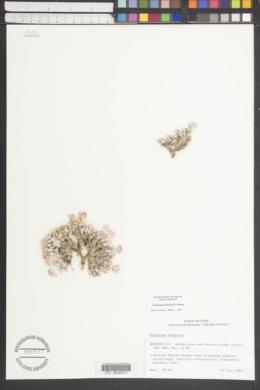 Eriogonum shockleyi image