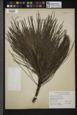 Pinus palustris image