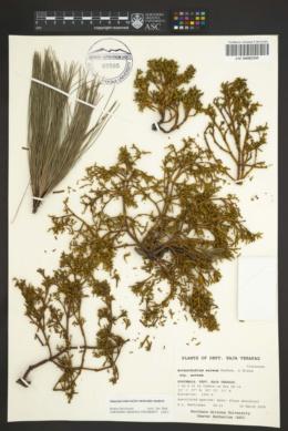 Arceuthobium aureum image
