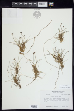 Image of Juncus duranii