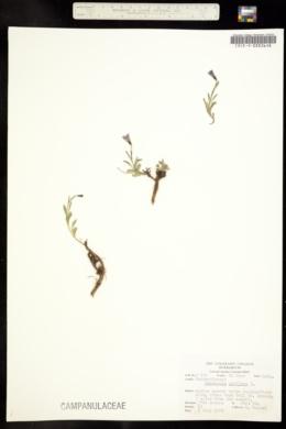 Campanula uniflora image