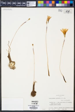 Zephyranthes pulchella image