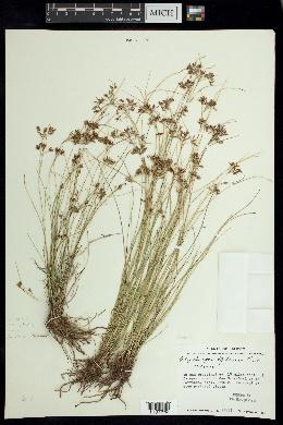 Rhynchospora tenuis image