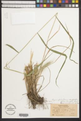 Elymus glabriflorus image