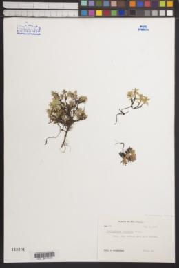 Image of Pyxidanthera barbulata