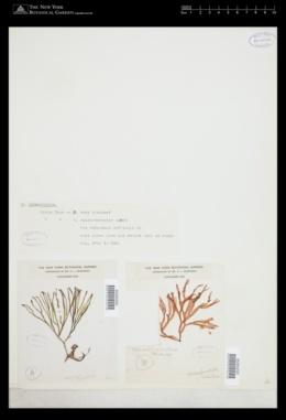 Scinaia johnstoniae image
