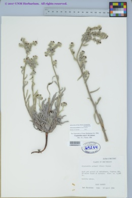 Cryptantha palmeri image