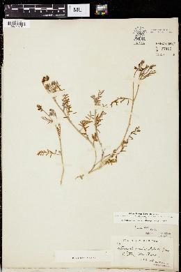 Astragalus gracilis image